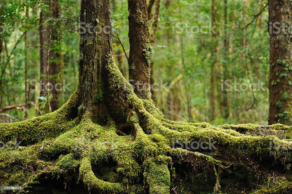 Closeup of roots on mossy tree stock photo