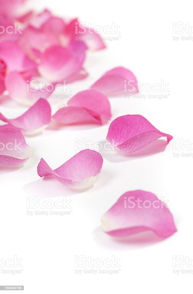 Close-up of rose petals on white stock photo