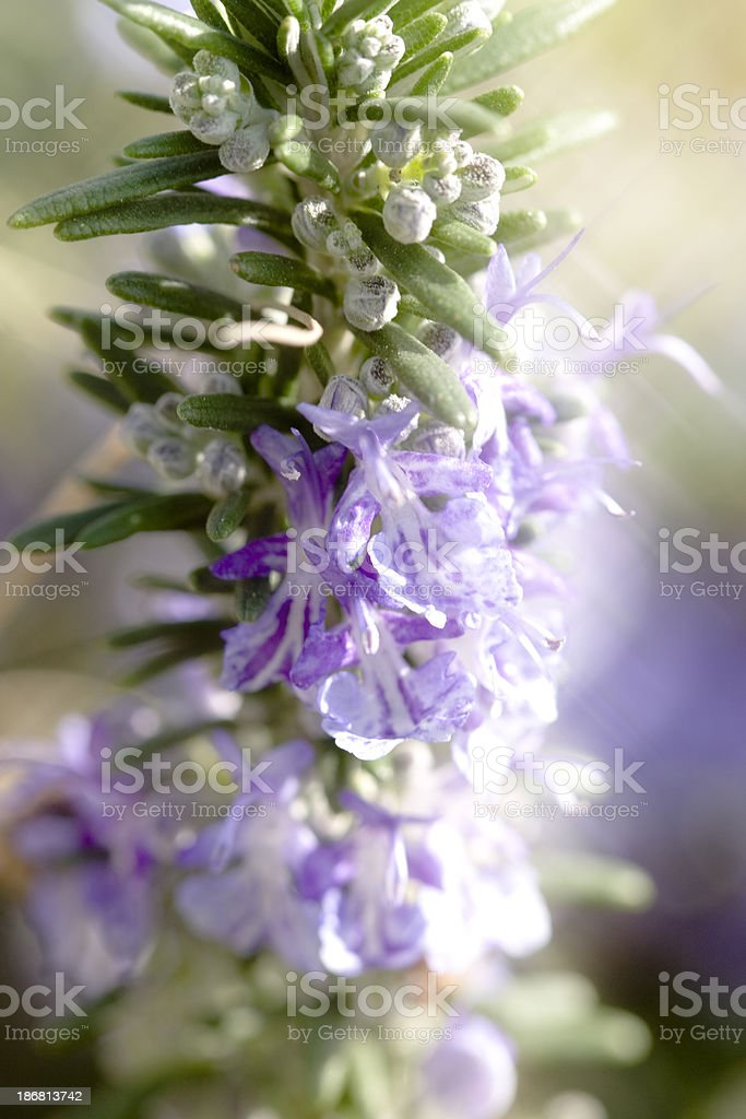 Close-up of rosemary plant with natural background royalty-free stock photo
