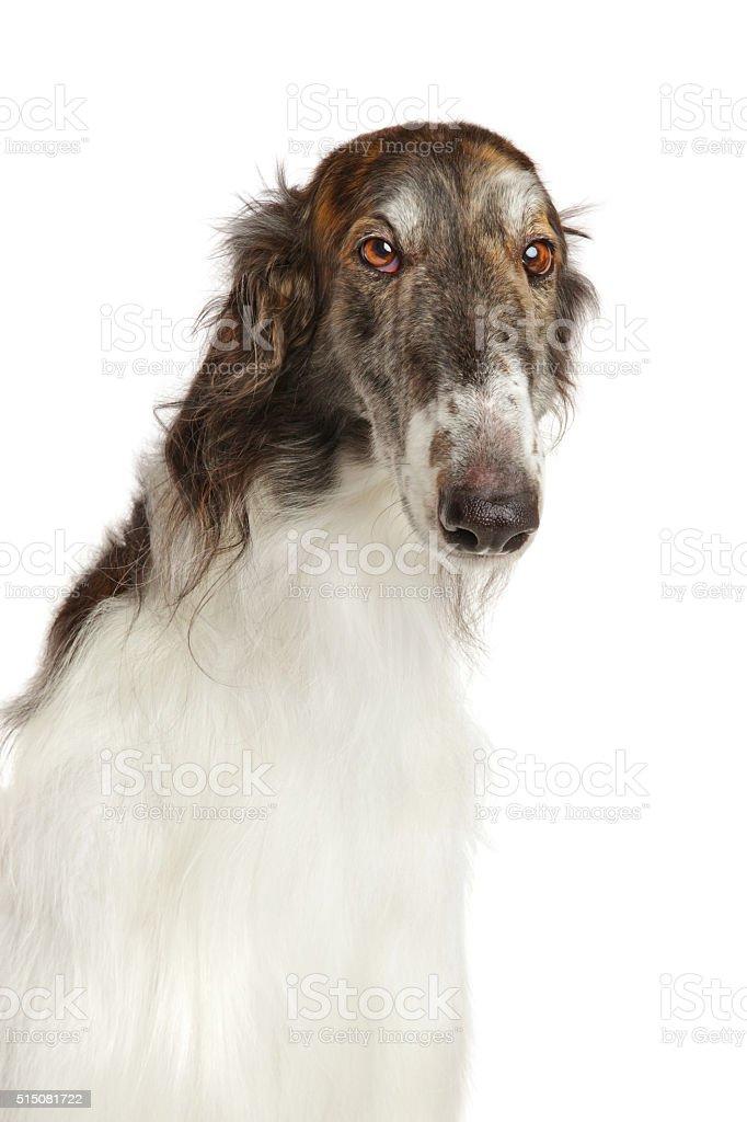 Close-up of Russian borzoi dog stock photo