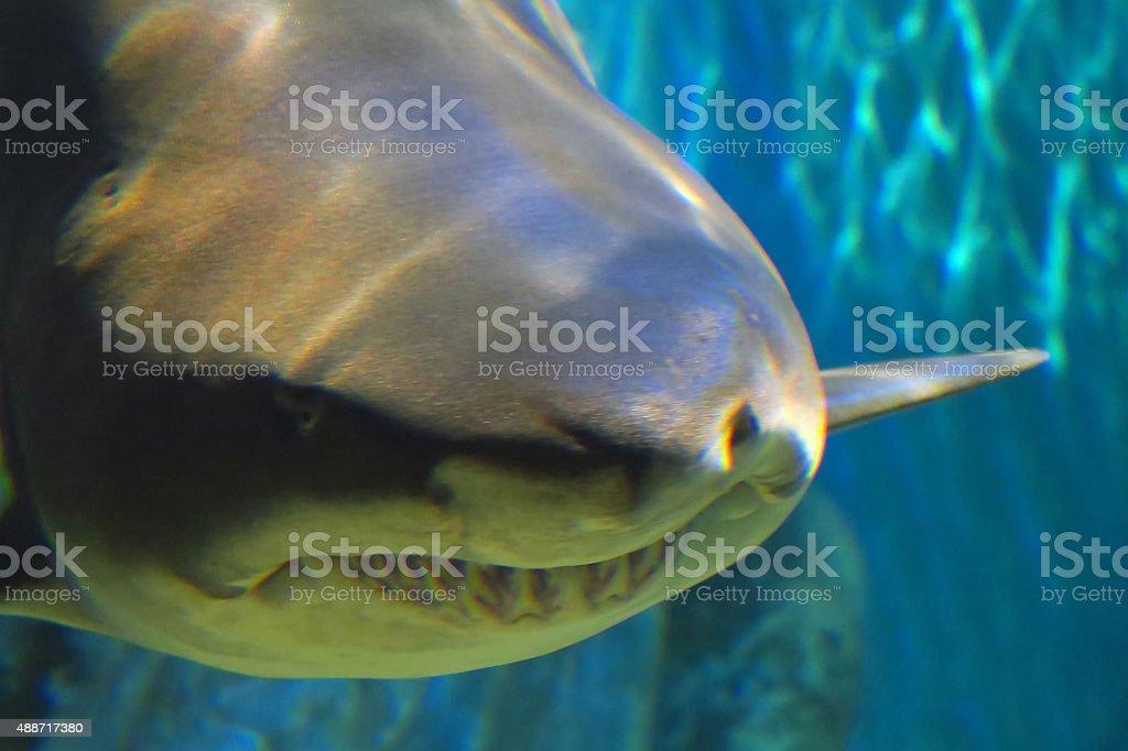 Close-up of sand tiger shark stock photo