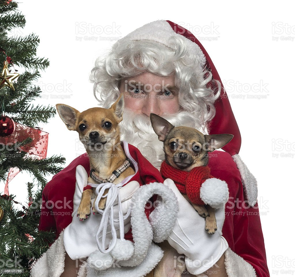 Close-up of Santa Claus holding two lapdogs, isolated on white stock photo