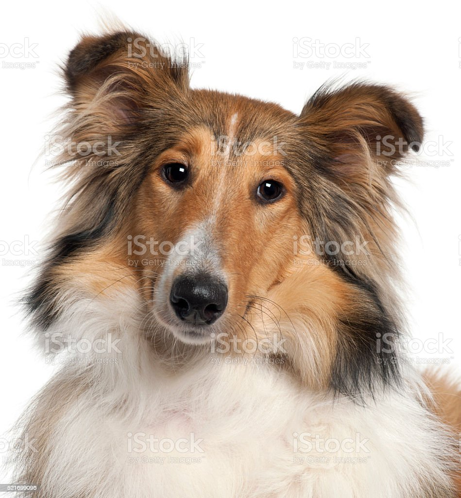 Close-up of Scotch Collie, 9 months old, stock photo