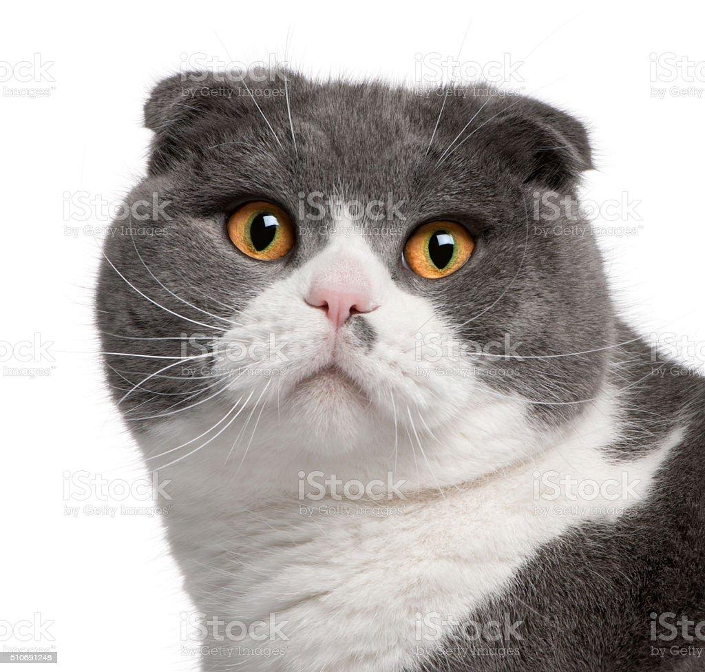 Close-up of Scottish Fold cat, 1 year old, stock photo