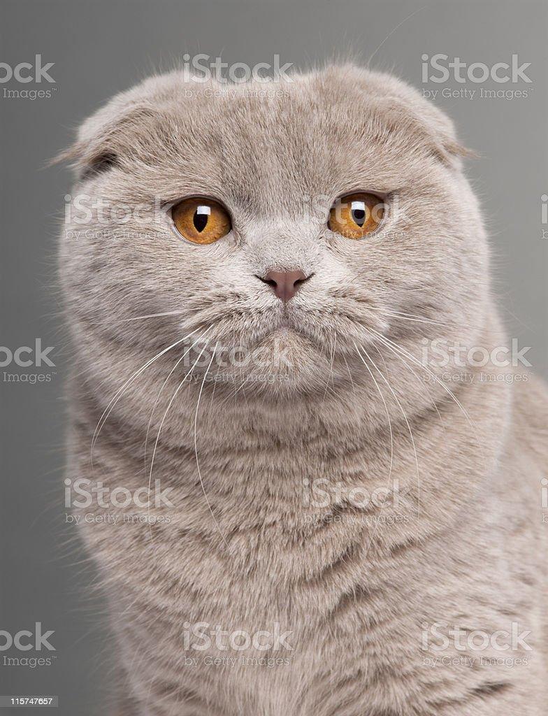 Close-up of Scottish Fold cat, grey background. stock photo