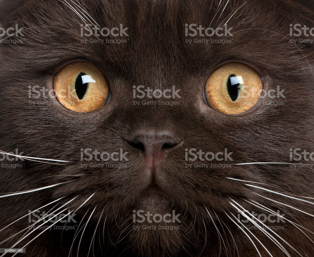 Close-up of Scottish Fold kitten, 8 months old stock photo