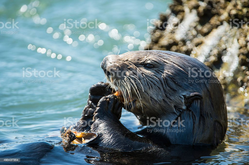 Close-up of Sea Otter Eating Shellfish stock photo