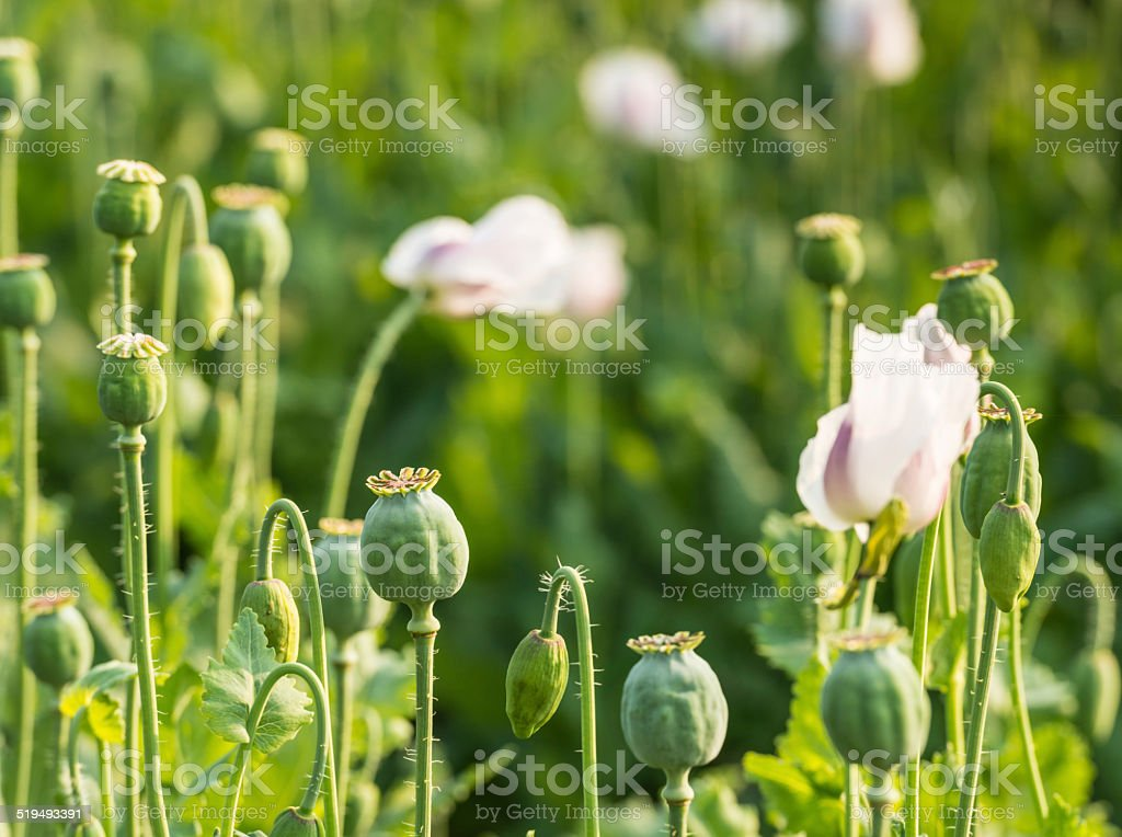 Closeup of seed pods of poppies on a large field stock photo
