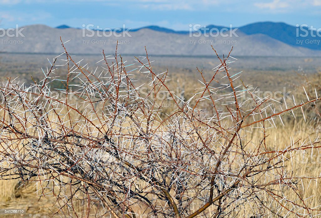 Close-up of sharp acacia shrub thorns in Namibian landscape stock photo