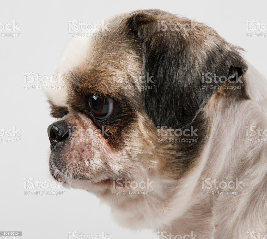 Close-up of Shih Tzu, 8 years old, in front of white background stock photo