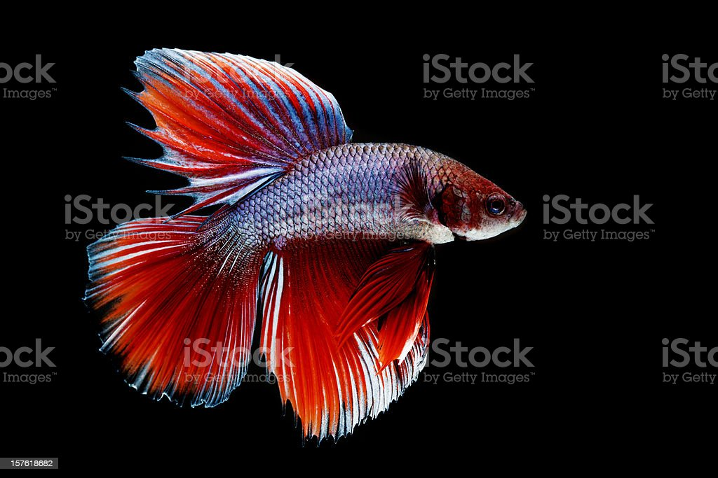 Close-up of Siamese Fighting Fish royalty-free stock photo