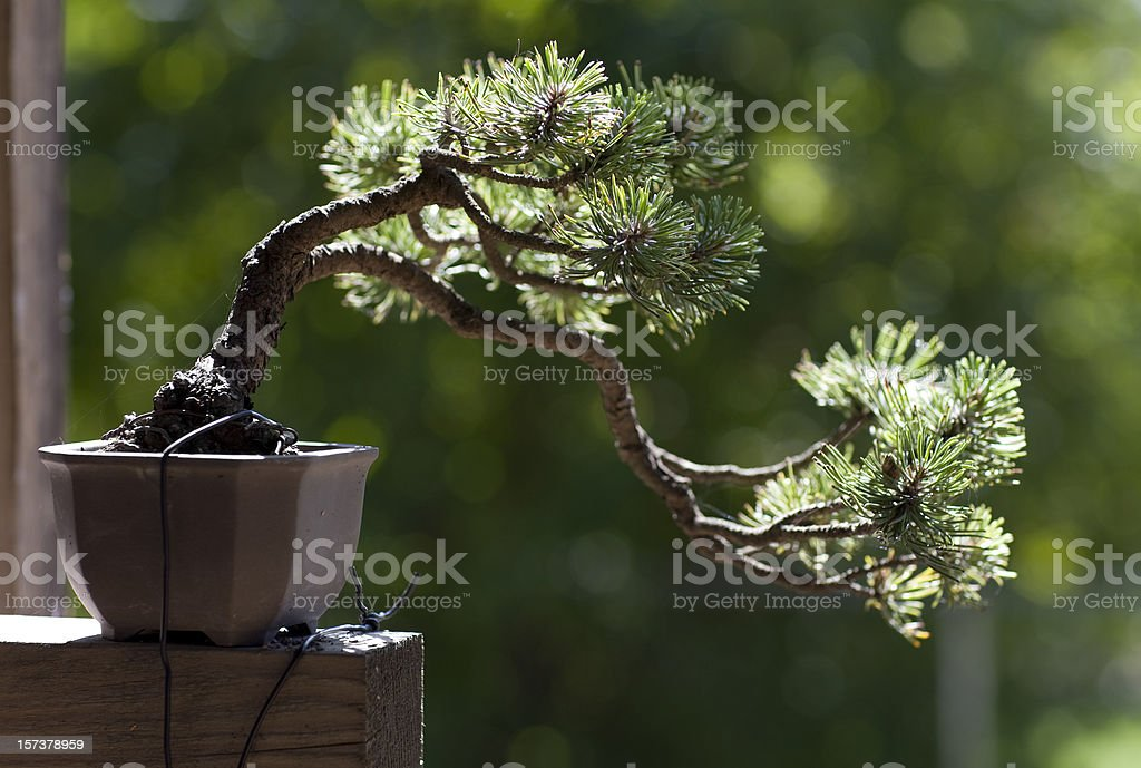 Close-up of single Bonsai Tree by a window sill stock photo