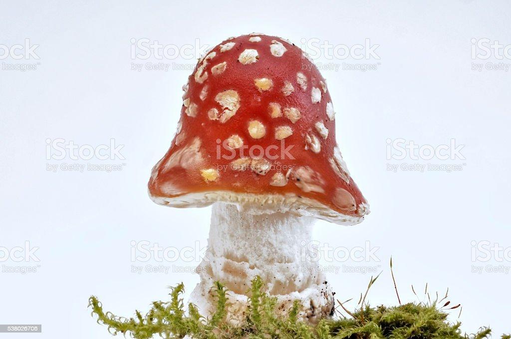 Closeup of single fresh Toadstool on white stock photo