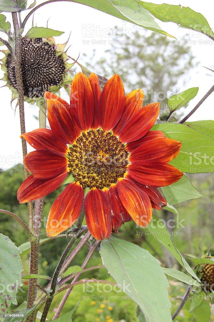 Primer plano de Naranja simple girasol en el jardín foto de stock libre de derechos