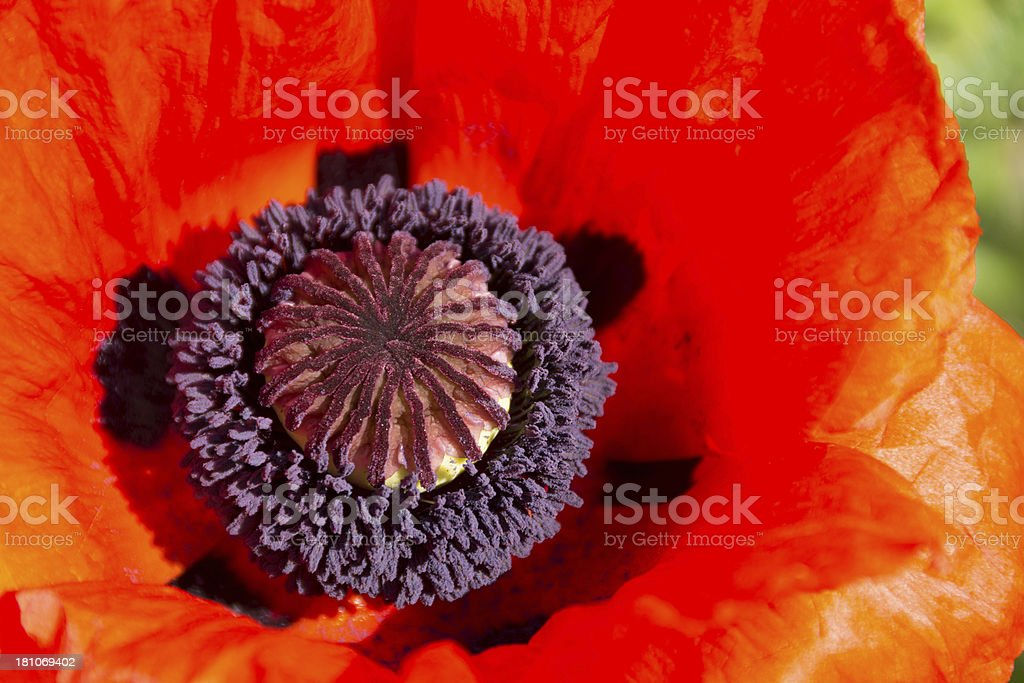 Closeup of single Oriental poppy center. royalty-free stock photo