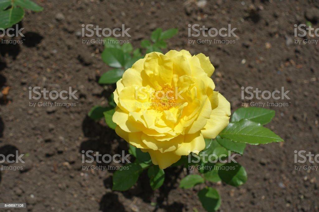 Closeup of single yellow flower of rose stock photo