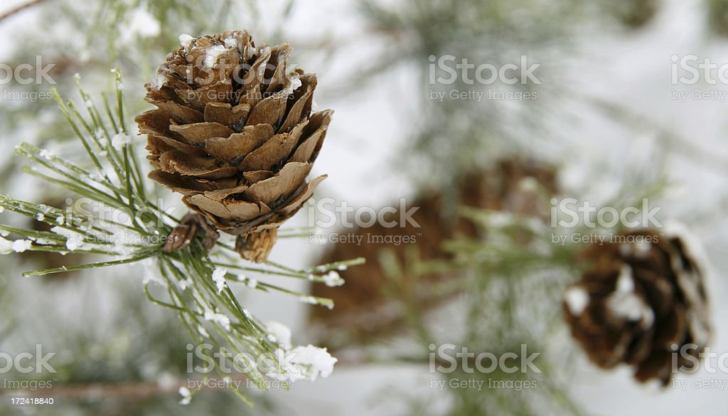Close-up of small pinecone on snowy end of branch stock photo