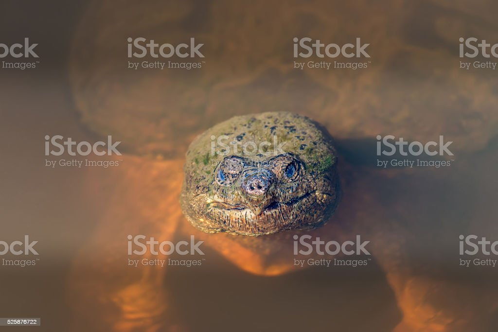 Closeup of Snapping Turtle sticking its head out of the water stock photo