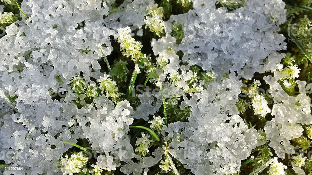 Close-up of snow on sphagnum moss (1 of 3) stock photo