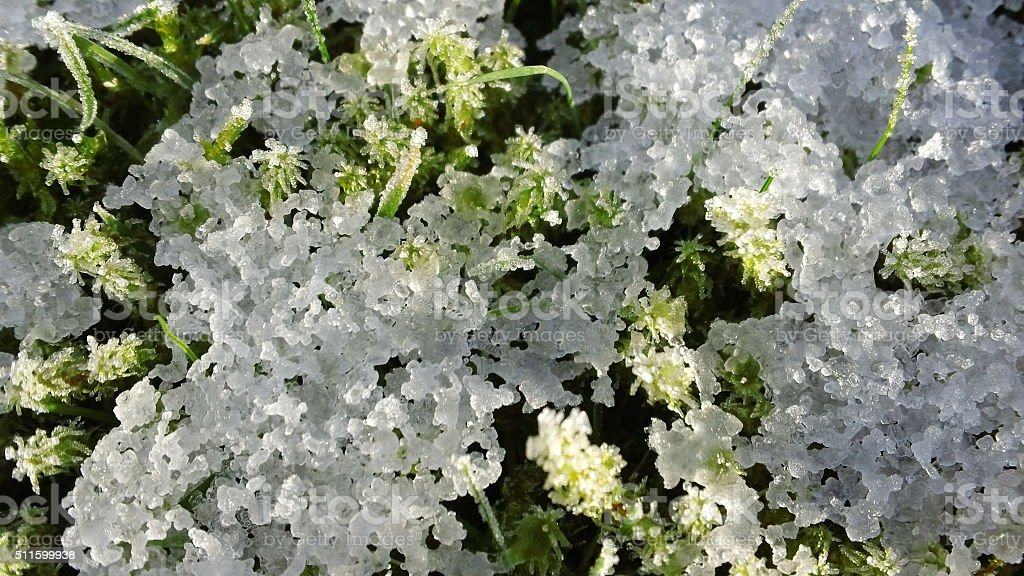 Close-up of snow on sphagnum moss (2 of 3) stock photo