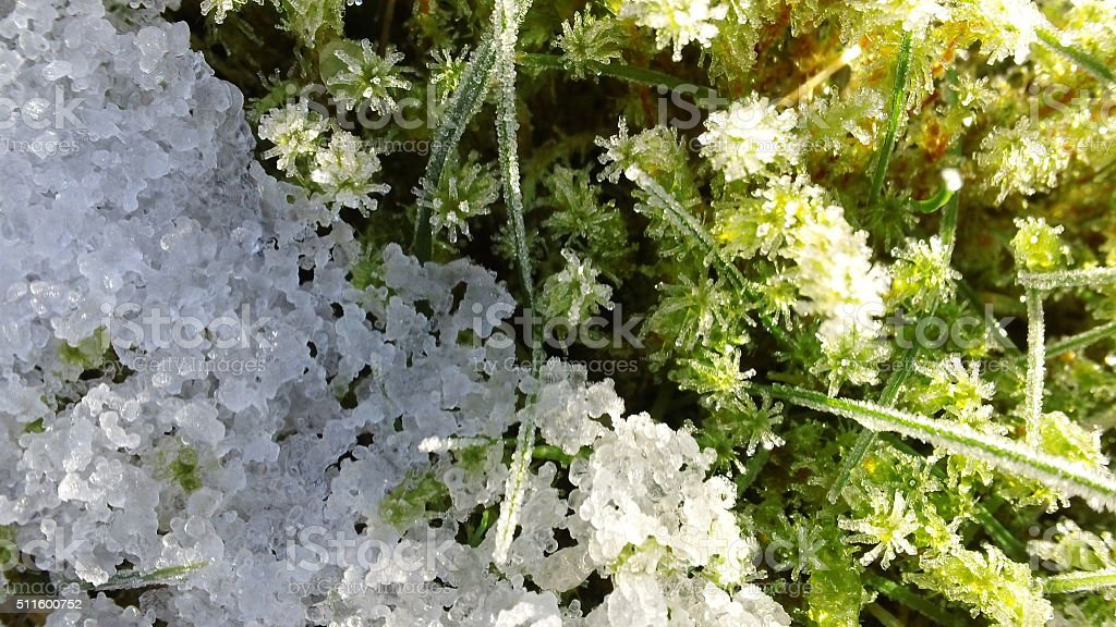 Close-up of snow on sphagnum moss (3 of 3) stock photo