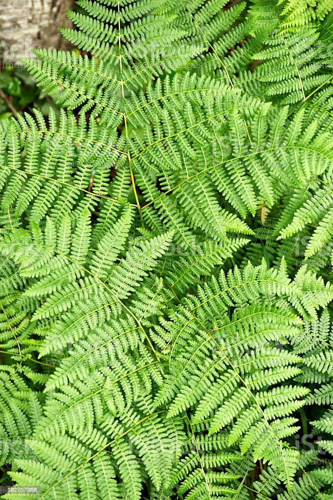 Close-up of some fresh green Lady Fern leaves stock photo