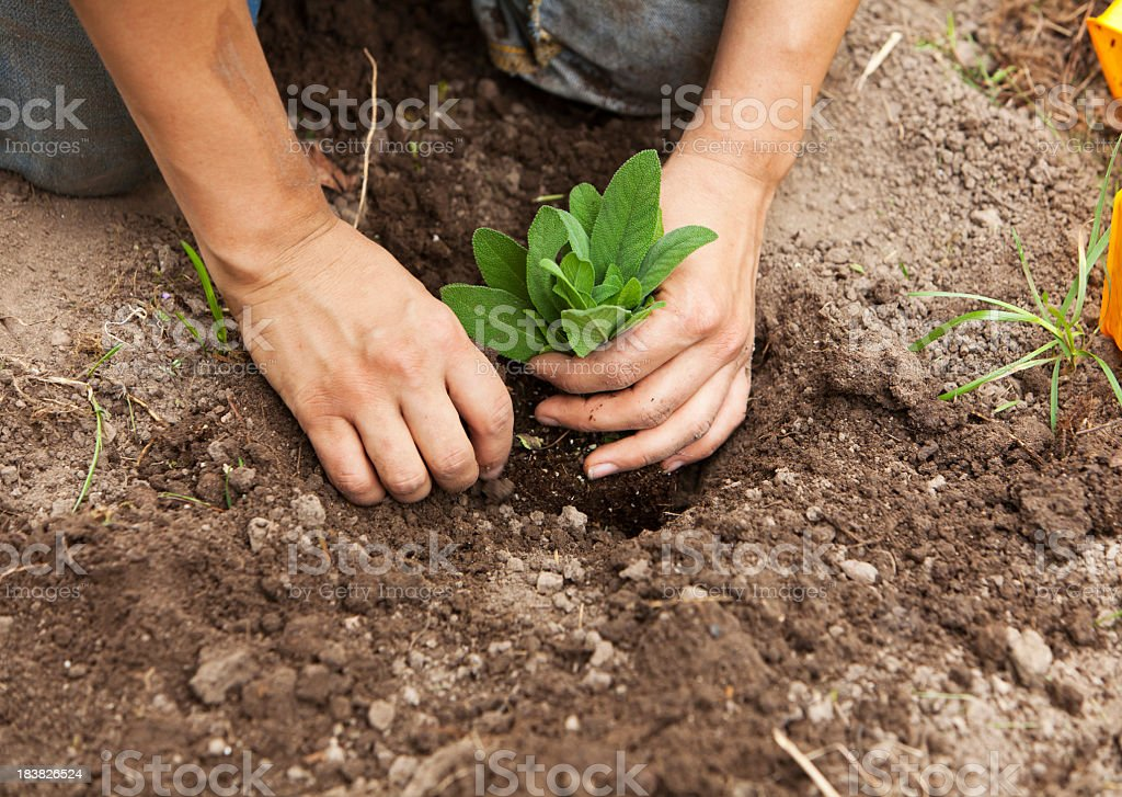 Close-up of someone planting a sage into the ground royalty-free stock photo