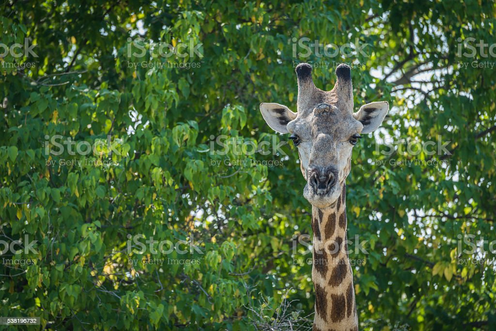 Close-up of South African giraffe in trees stock photo