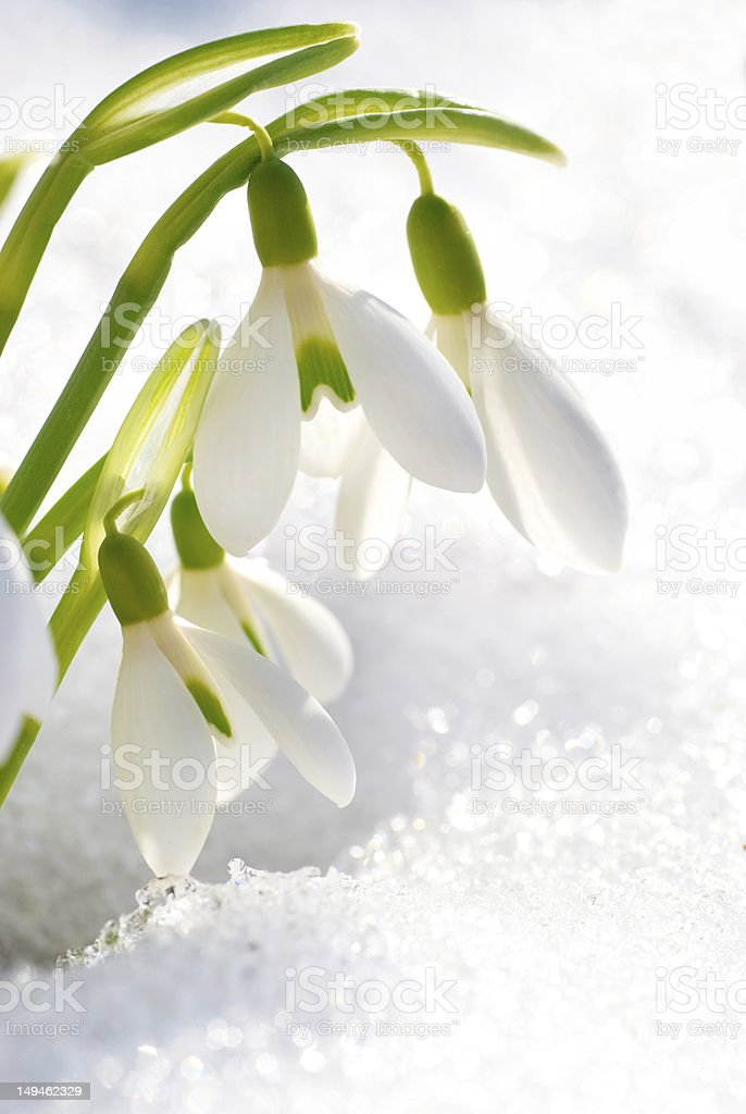 Close-up of spring snowdrop flowers next to fresh snow stock photo