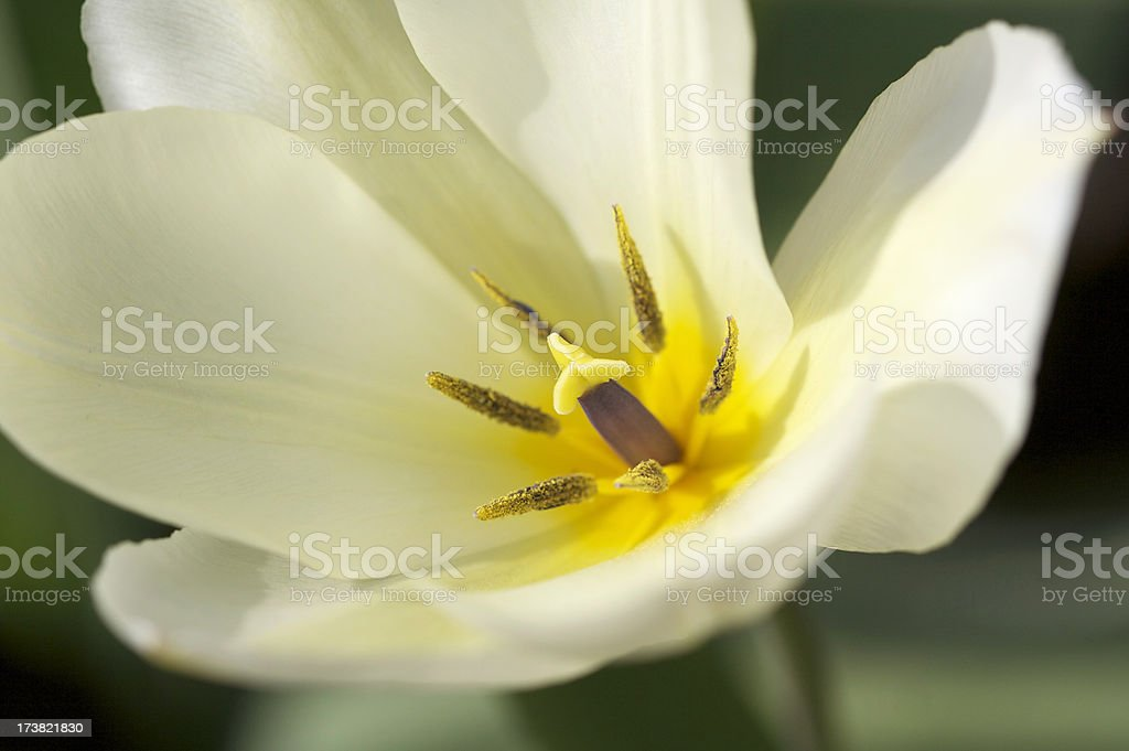 Close-up of Spring Tulip royalty-free stock photo