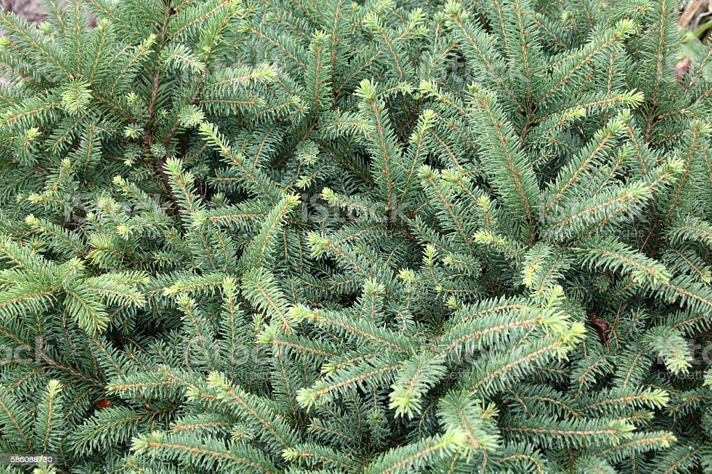 Close-up of spruce Picea glauca stock photo