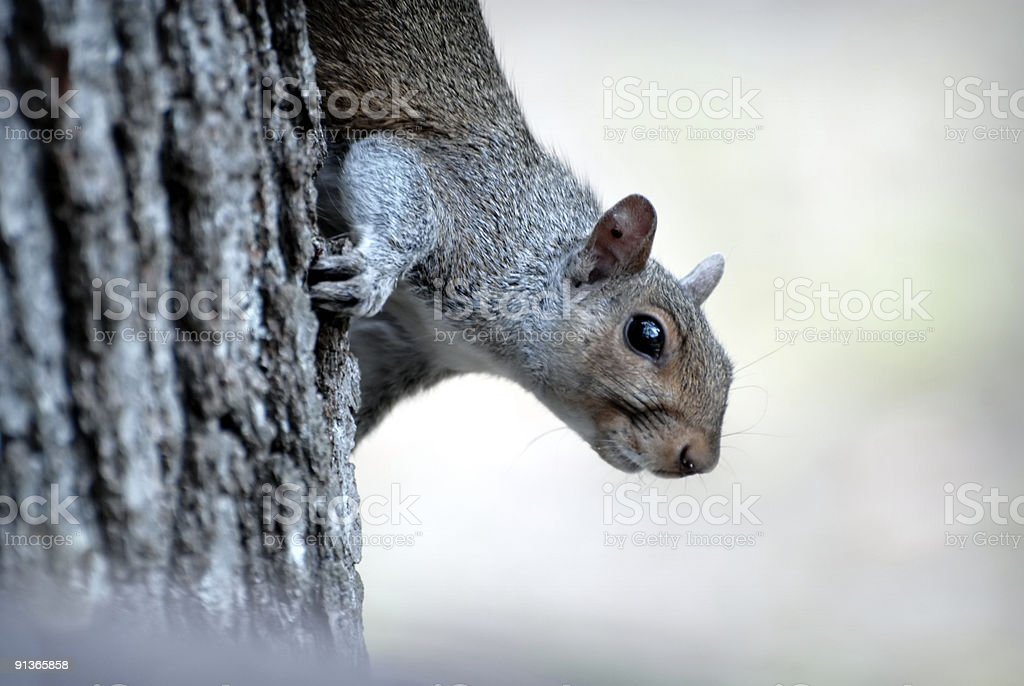 Closeup of Squirrel royalty-free stock photo