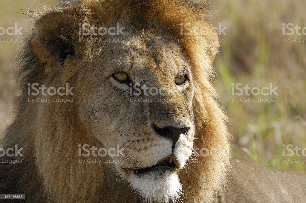 Close-up of Staring Wild Male African Lion royalty-free stock photo