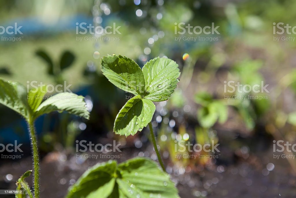 Close-up of strawberry plant royalty-free stock photo