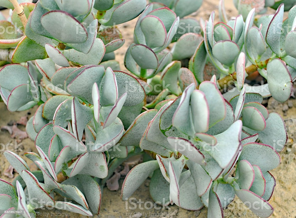 Close-up of succulent crassula arborensis stock photo