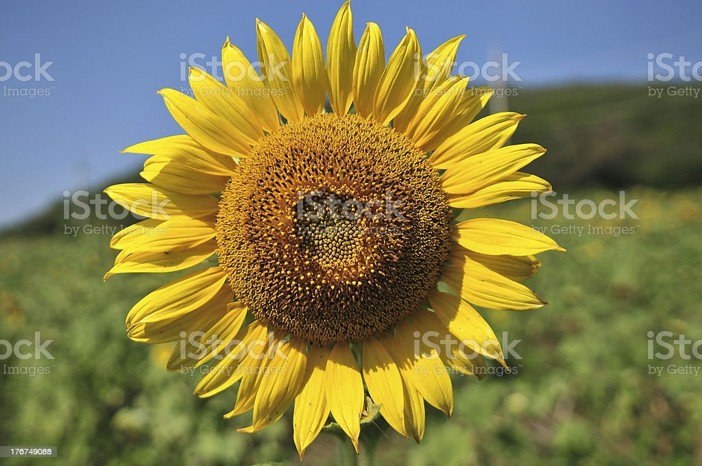 Close-up of sunflower against a blue sky royalty-free stock photo