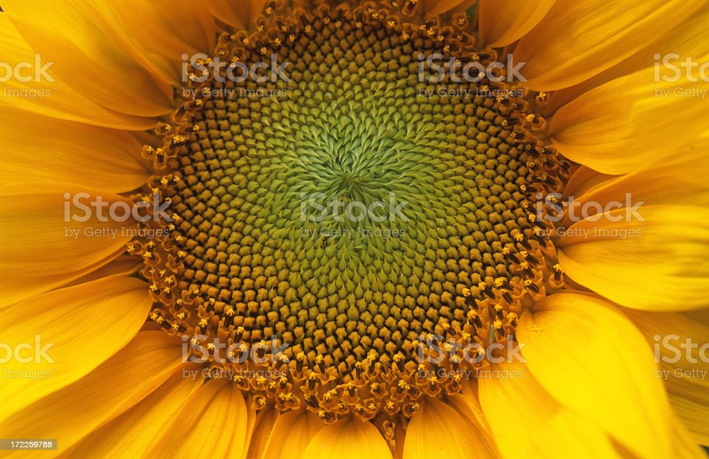 Close-up of sunflower stock photo