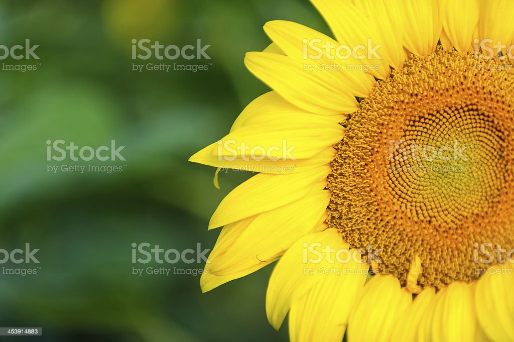 Close-up of sunflower royalty-free stock photo