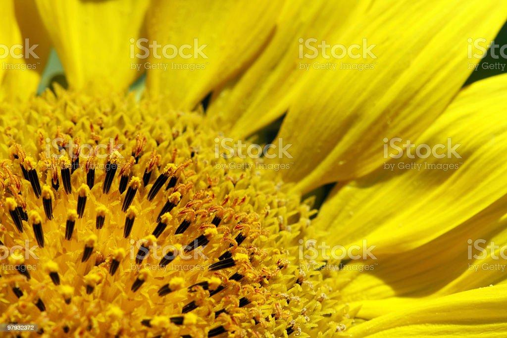 Nahaufnahme der Sonnenblume Lizenzfreies stock-foto