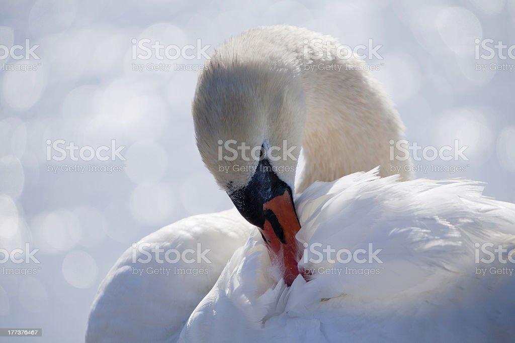 Nahaufnahme des swan Reinigung es auf den Federn Lizenzfreies stock-foto
