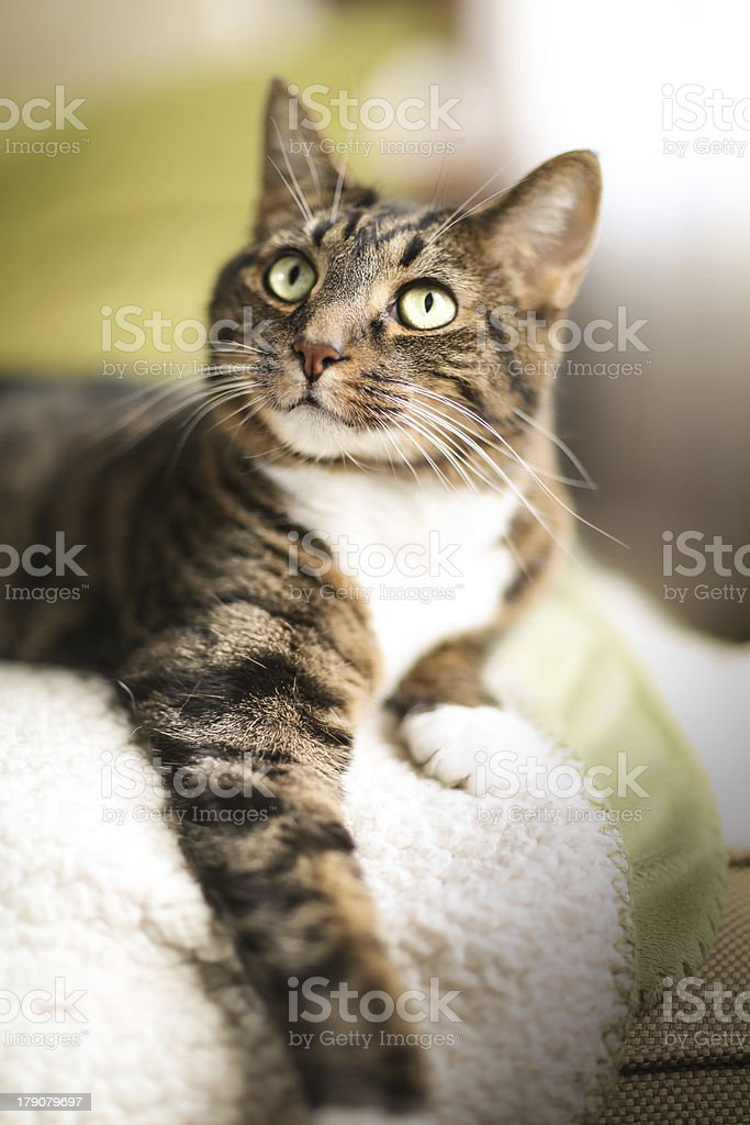 Close-up of tabby cat resting on soft rug stock photo