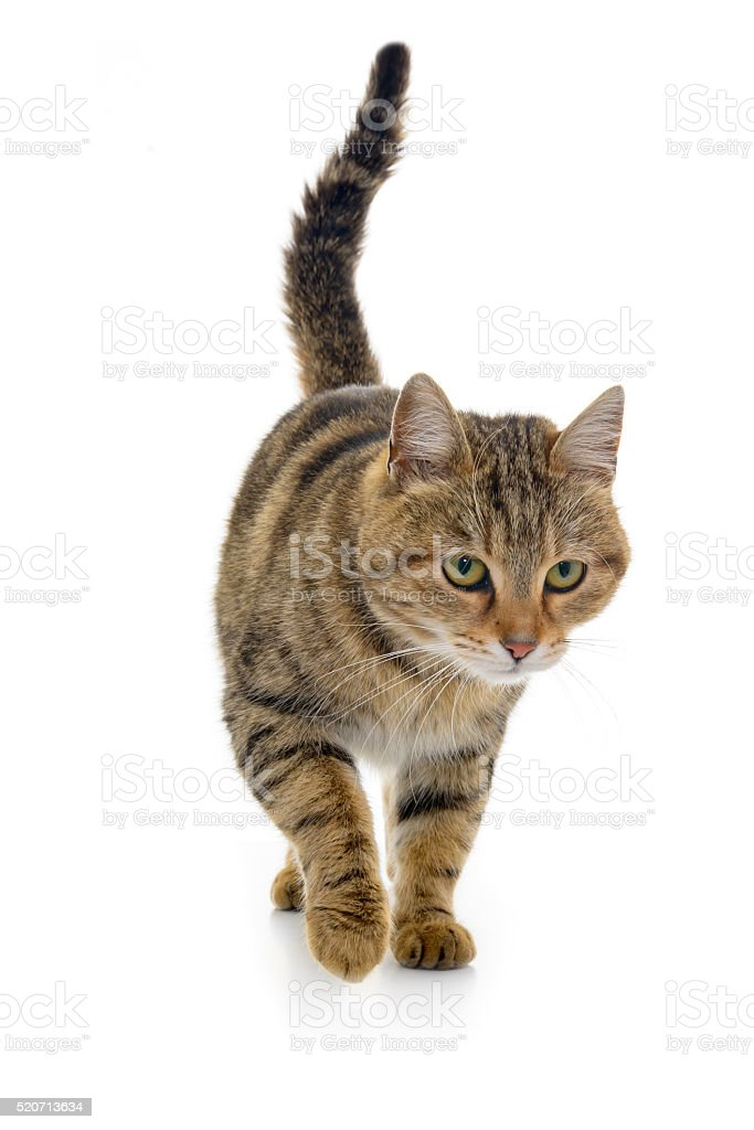 Close-Up Of Tabby On white background stock photo