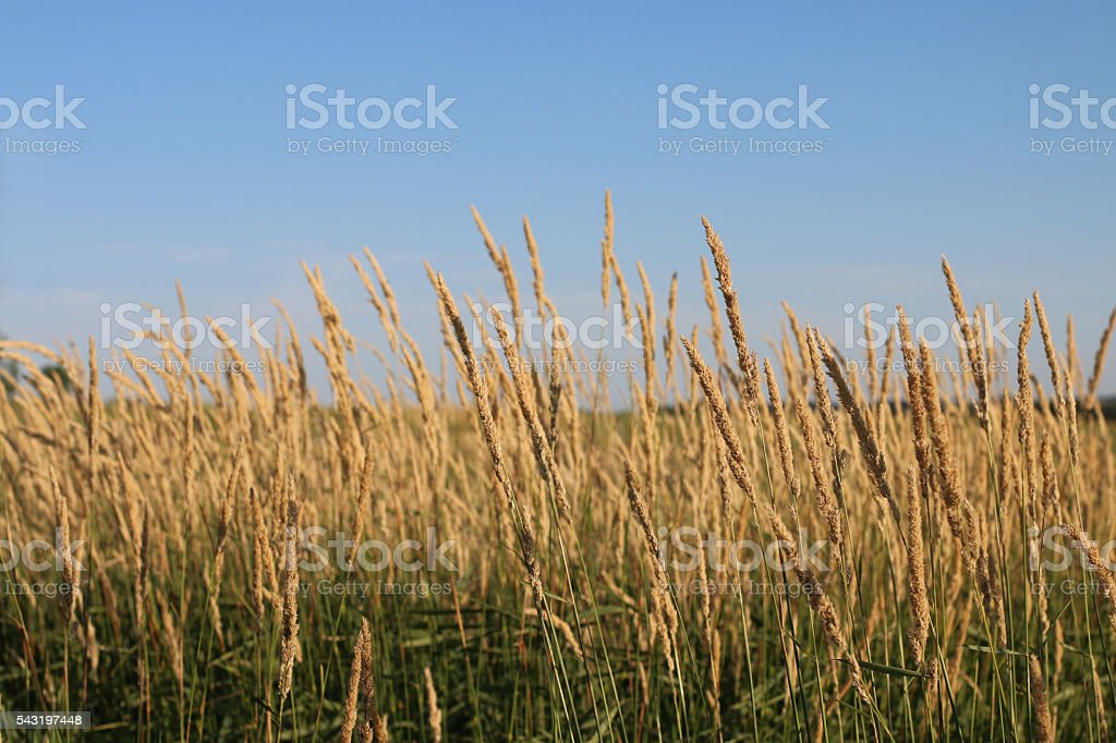 Close-up of Tall Prairie Grass in Iowa stock photo