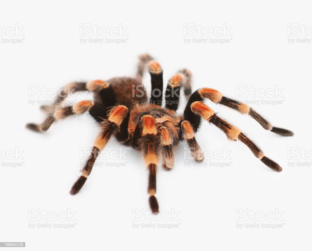 Close-up of Tarantula spider on white background royalty-free stock photo