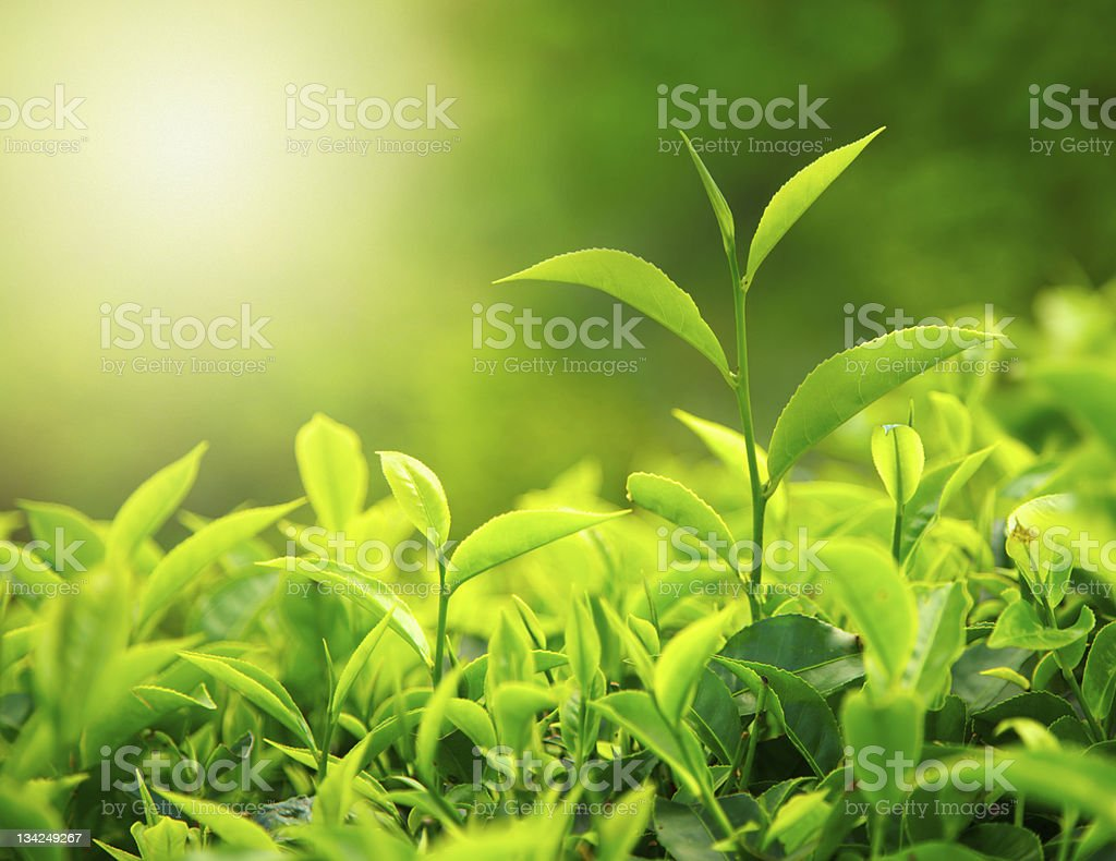 Close-up of tea bud and leaves royalty-free stock photo
