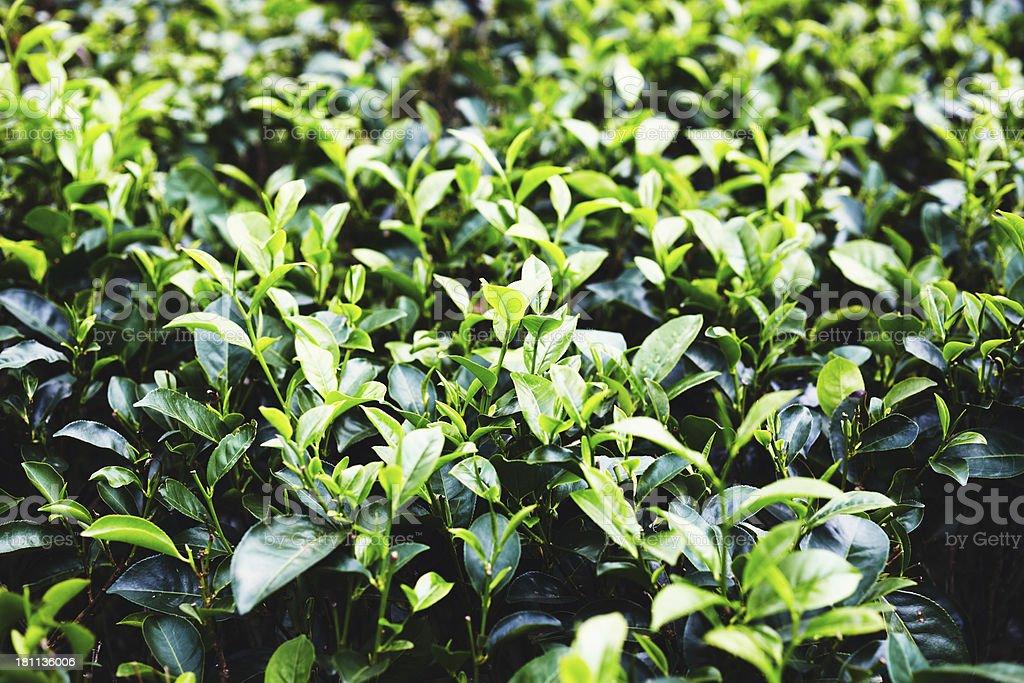 Closeup of tea bush royalty-free stock photo