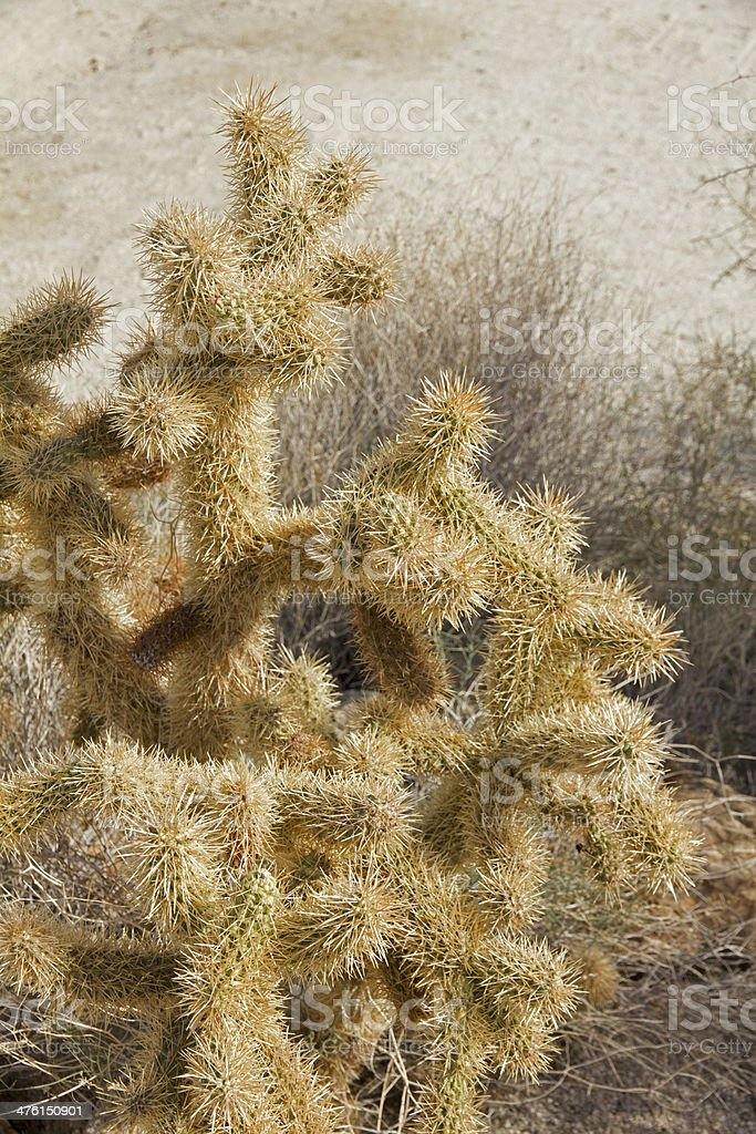 Close-up of Teddy-Bear Cholla Cactus royalty-free stock photo