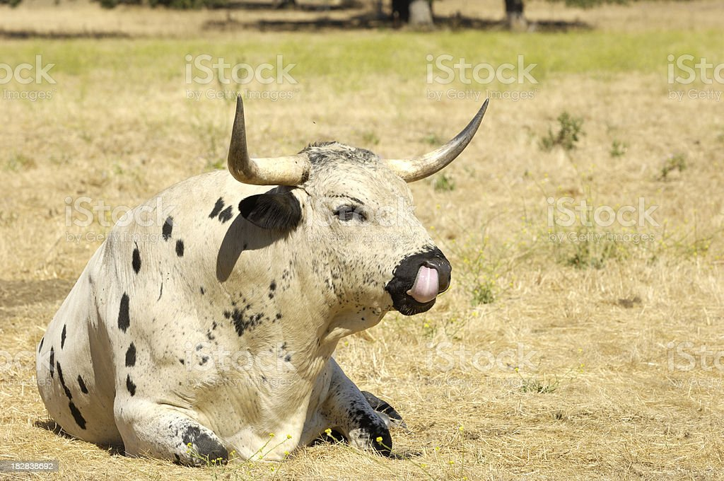Close-up of Texas Longhorn Bull royalty-free stock photo