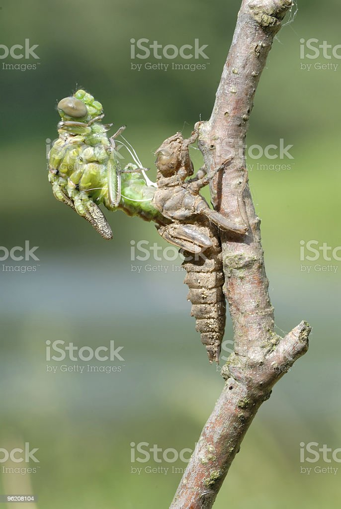 Close-up of the birth of a dragonfly royalty-free stock photo
