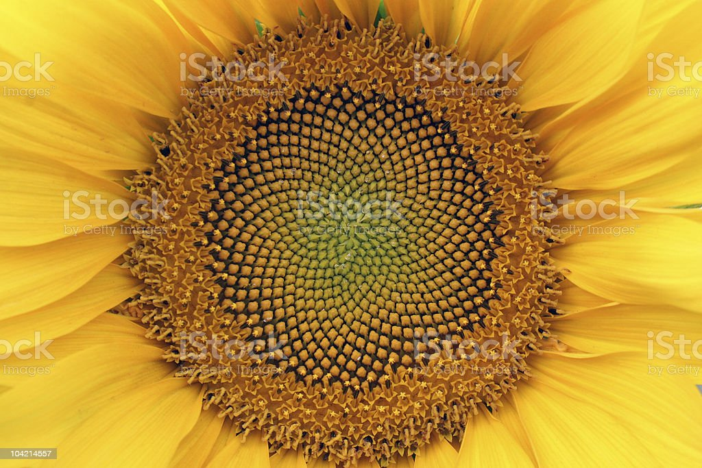 Close-up of the center of a sunflower royalty-free stock photo